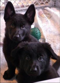 Black German shepherds - this must be what Edison looked like when he was little.-  so cute