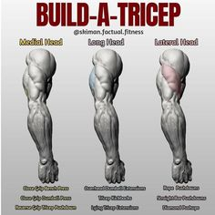 "BUILD-A-TRICEP! First off let's give you some info on how the tricep is broken down, there's three parts to the tricep, hence ""tri"". There's the medial head, which is very small and lies beneath the long head), the larger portion of the horseshoe the long Fitness Workouts, Weight Training Workouts, Gym Workout Tips, Biceps Workout, Fitness Tips, Health Fitness, Fitness Plan, Chest And Tricep Workout, Traps Workout"