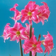 Neon Rose Amaryllis Bulb from American Meadows, your trusted source for Amaryllis Flower Bulbs.  We offer gardeners guaranteed Neon Rose Amaryllis Bulb and all the information and confidence needed to succeed.