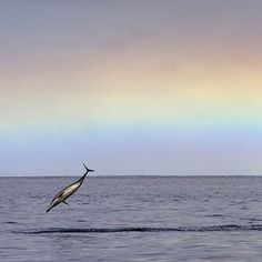 Photo by @BrianSkerry A spinner dolphin leaps from the sea as a passing morning squall leaves behind a rainbow in the sky off Oahu, Hawaii. Coverage from the May 2015 @natgeo story about dolphin intelligence. Photograph made under NMFS (NOAA) permit #17941. @thephotosociety @natgeocreative #dolphins #cognition #hawaii #magic #nature #love