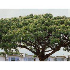 Árvore da Chuva - Samanea tubulosa - Árvore