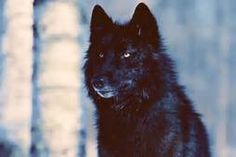 wolf pictures - Yahoo Image Search Results