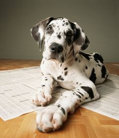 Everything Great Dane Puppies – Adorable Pics! – Dogtime Everything Great Dane Puppies – Adorable Pics! Great Dane Dogs, I Love Dogs, Cute Dogs, Baby Great Dane, Harlequin Great Dane Puppy, Animals Beautiful, Cute Animals, Tier Fotos, Mundo Animal