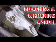 The best way to bleach and whiten your skull without causing any damage.