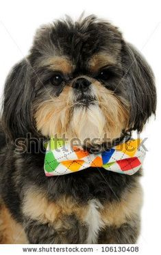 red shih tzu | Shih Tzu Dog Wearing A Bow Tie Stock Photo 106130408 : Shutterstock