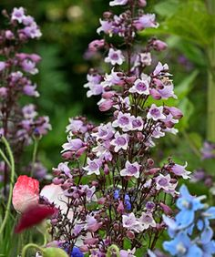 Penstemon digitalis 'Mystica' - one of our favorites! Available now at Johnnye Merles: www.purtyplants.com