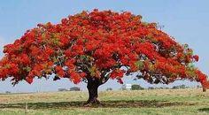 Árvores do Brasil - Pesquisa Google