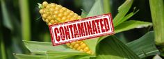 """GMO Imports Causing Unapproved """"Mystery GMO Plants"""" to Invade Ecosystems"""