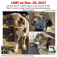 Please spread the word!  Blue was last seen near Hwy 231 & 390 in Panama City Florida.  She is a blue and white pit bull who just had a pedicure.  Her nails were painted purple when she went missing!  Blue is a registered service dog and her owner needs her home as soon as possible.  Contact her family with any possible sightings or leads:  (850) 496-6879  More info additional photos to see Blue's location on a map and to contact her owner directly:  http://ift.tt/2l9Ph6I  #LostDogsFlorida…
