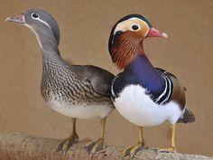 Canard Mandarin, Mandarin Duck, Beautiful Birds, Animals Beautiful, Aix Galericulata, Quack Quack, Power Animal, World View, Mallard