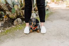 Long Haired Dachshund Wiener Dog Standing Between His Owner S