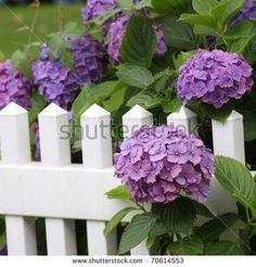 Hydrangea 库存照片、图片和图画 | Shutterstock