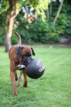 B ball, it stands for Boxer Ball silly human