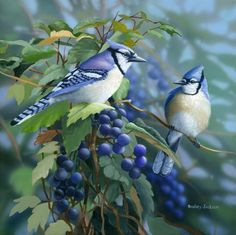 Blue Jay Birds Animals Background Wallpapers on Desktop Nexus Kinds Of Birds, All Birds, Love Birds, Pretty Birds, Beautiful Birds, Jay Azul, Blue Jay Bird, Bird Wallpaper, Wildlife Art