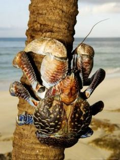 The coconut crab, Birgus latro, is a species of terrestrial hermit crab, also known as the robber crab or palm thief. It is the largest land-living arthropod in the world. Like hermit crabs, juvenile coconut crabs use empty gastropod shells for protection, but the adults develop a tough exoskeleton on their abdomen and stop carrying a shell.  The species is popularly associated with the coconut, and has been widely reported to climb trees to pick coconuts, which it then opens to eat the flesh.