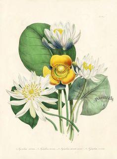 jane loudon botanical prints | Antique Prints by Jane Loudon | BOTANICAL ILLUSTRATIONS | Pinterest