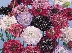Image result for Scabiosa atropurpurea Imp Giant Mix