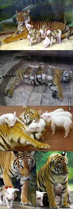 tiger was devastated after she lost her cubs, so the zookeepers improvised. A tiger was devastated after she lost her cubs so the zookeepers improvised. - A tiger was devastated after she lost her cubs so the zookeepers improvised. Cute Baby Animals, Animals And Pets, Funny Animals, Farm Animals, Beautiful Creatures, Animals Beautiful, Tiger Zoo, Tiger Print, Tiger Cubs