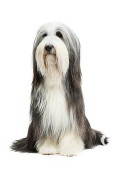 Bearded Collie Being Dried After Bath In Grooming Parlour