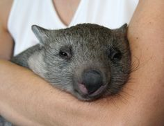 Wombat snuggling | by Shami Chatterjee