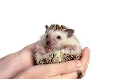 16 Fun Facts About Hedgehogs
