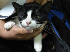 Pulled by Feline Rescue of Staten Island** DEERA - A1036110 - - Brooklyn  **TO BE DESTROYED 05/26/15** Oreo-Shadow-Deera Are Loving Family Members Who Must Each Find Their Own Road To Freedom, Tonight! This group of gorgeous two-tone lovebugs landed at the shelter when their former owner decided to move and leave her pets behind .. on Oreo's social notes, it does say that she was overwhelmed by the sheer number of animals she owned. Bringing some cats to the shelter