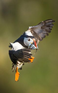 An Atlantic puffin comesin to land with a mouthful of sand eels at the Wick, Skomer Island, Pembrokeshire