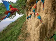 Macaws make a snack of a salt lick in Peru in this National Geographic Photo of the Day.