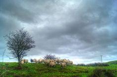 sheep at Dippin