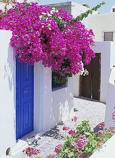 Bougainvillea, Santorini, Cyclades, Greek Islands, Greece, Europe