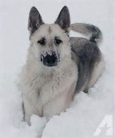 Black and Silver sable German Shepherd Yahoo Image Search Results