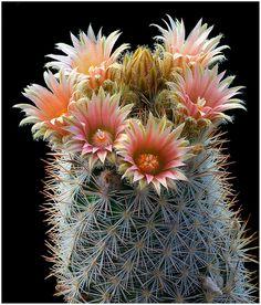 CAC06 | Escobaria albicolumnaria | Richard Reynolds | Flickr