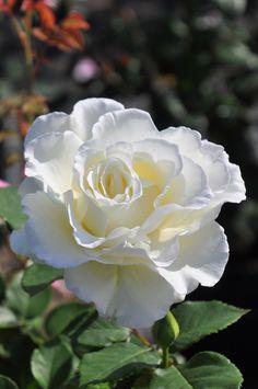 beautiful flowers at night Beautiful Rose Flowers, Pretty Roses, Flowers Nature, Exotic Flowers, Pretty Flowers, White Flowers, One Rose, Coming Up Roses, Flower Photos