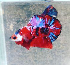 Red koi galaxy #hmpk Beta Fish, Siamese Fighting Fish, Beautiful Fish, Aquarium Fish, Fish Tank, Koi, Coloring, Study, World