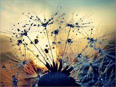 Pusteblume im Sonnenuntergang Bilder: Poster von Julia Delgado bei Posterlounge.de