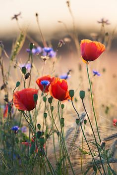Strauß wilder Blumen Foto von Taras L. – National Geographic Your Shot Bouquet of wild flowers Photo by Taras L. – National Geographic Your Shot Strauß wilder Blumen Foto von Taras L. – National Geographic Your Shot Poppies Tattoo, Poppies Poem, Poppies Art, Poppies Painting, Wild Poppies, Flower Aesthetic, Aesthetic Drawing, Flower Quotes, Types Of Flowers