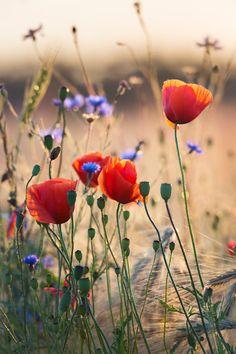https://flic.kr/p/BvX57y | Poppies and cornflowers | Poppies and cornflowers in wheat field against the sun