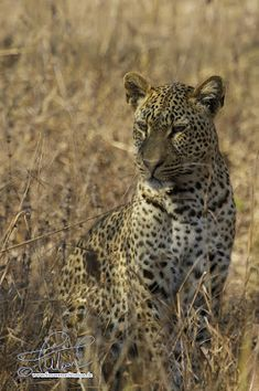 SnowmanStudios.de: Reiseblog - Südafrika 2018 a new adventure starts soon. I´m off for volunteer working in South Africa again, doing 4 weeks of conservation and research at a Leopard and big cats research project with African Impact.