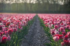 Tulip Fields of Lisse, Netherland Gorgeous Day Trips From Amsterdam
