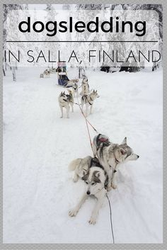 Dogsledding in Salla Finland, a village lost in the Arctic wilderness of Finland. Awesome pics and things to do in Salla Finland in winter!