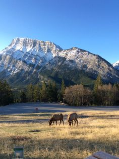 I was camping in Banff National Park this past week and woke up to this. Two Elk grazing in front of Mt. Rundle.