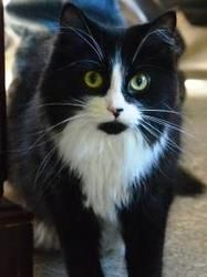 Petfinder Adoptable Cat | Domestic Medium Hair-Black And White | Neenah, WI | Molly
