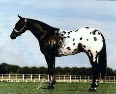Black and White Appaloosa horse.