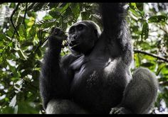 The Ultimate Bragging-Rights African Adventure: Gorilla Tracking In Congo With Asia To Africa Safaris