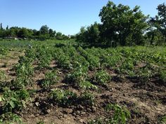 Посадка рассады томатов в марте. Когда сажать семена помидоров на рассаду?