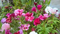 Atlask blomster, en sommerblomst. De er i blandede rød/rosa/hvide farver, meget smukke og meget nemme at få til at spire. Der kan tages frø fra dem når de afblomstre, så har man til næste sæson.