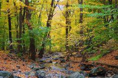 Bosco Autunnale Con Aceri Giallo E Creek Con Rocce E Fogliame In Montagna. Foto Royalty Free, Immagini, Immagini E Archivi Fotografici. Image 8499677.