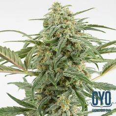 Dinafem Critical + 2.0 Auto Feminised Weed Seeds: This second generation Critical bears all the hallmarks of the original but with more productive power. The buds pour off it like bags of spilled marbles and the flowering times never exceed more than 80 days. It is a joy to look at but you might want to give the branches a little extra support towards the end.