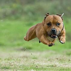 Gravity defying staffy! Look at those muscles!