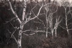 Birch Strokes